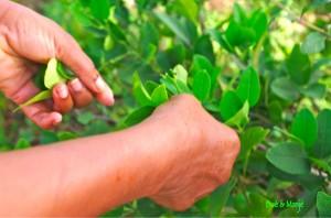 feuilles de citronnier