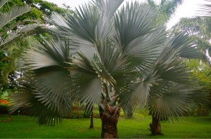 palmier de bismark