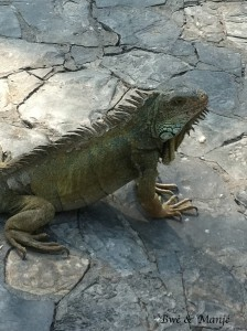 L'Iguane se mange..pas en Equateur mais pas très loin...je vous raconterai ça au prochain épisode!